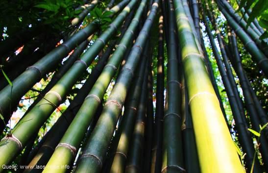 Dschungelimpressionen: Bambus in Laos